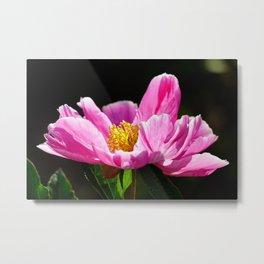 Pink Peony with Dark Background Metal Print