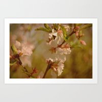 cherry blossoms Art Prints featuring Cherry Blossoms by Dorothy Pinder