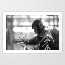 Wildlife Collection: Capuchin Monkey Art Print
