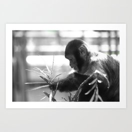 Wildlife Collection: Capuchin Monkey Art Print