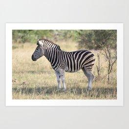 African Zebra in the Wild Art Print