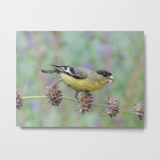 Lesser Goldfinch Snacks on Seeds Metal Print