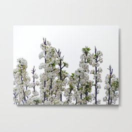 Bradford Pear Blossoms  Metal Print