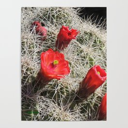 A Hedgehog Cactus Looks Sunward Poster