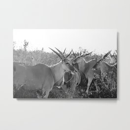 Herd of Eland stand in tall grass in African savanna Metal Print