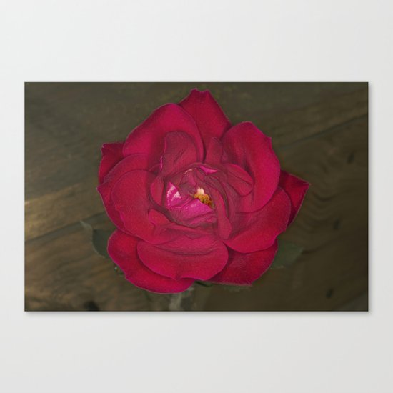 Red Rose in bloom Canvas Print