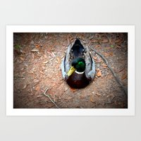 Mallard duck - Louisiana Art Print