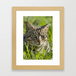 Tabby cat hunting outdoors Framed Art Print