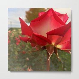 Rose of Superior Metal Print