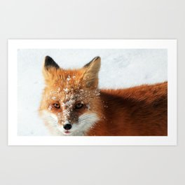 Snowy Faced Cheeky Fox with Tongue Out Art Print