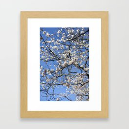 Toronto Cherry Blossoms Framed Art Print