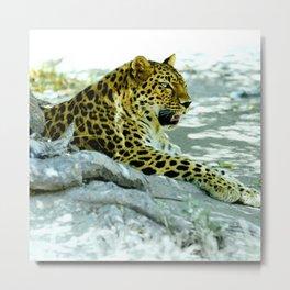 Leopard in Repose Metal Print