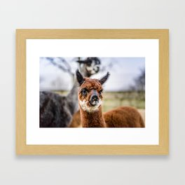 Moonlight Alpaca Kendal Framed Art Print