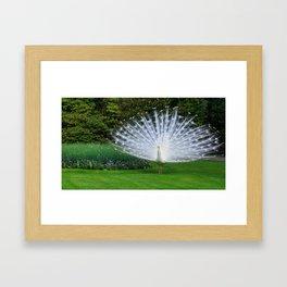 White Peacock on the Green Grass in Spring Framed Art Print