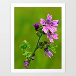Common Mallow (Cheeseweed) Art Print