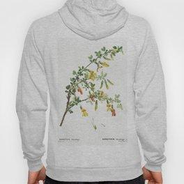 Robinia chamlagu from Traite des Arbres et Arbustes que lon cultive en France en pleine terre (1801- Hoody