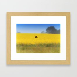 Blackbird over the canola field Framed Art Print