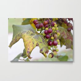 Green and purple grapes on the vine Metal Print