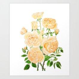 orange pat Austin rose watercolor painting  Art Print