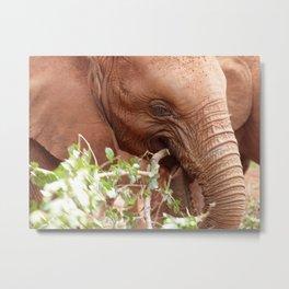 Young elephant feeding Metal Print
