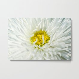 White English Daisy Flower Metal Print
