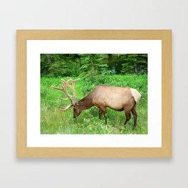 Elk Grazing  Framed Art Print