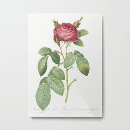 Gallic Rose, also known as Rose of Provins with Large Leaves (Rosa gallica latifolia) from Les Roses Metal Print