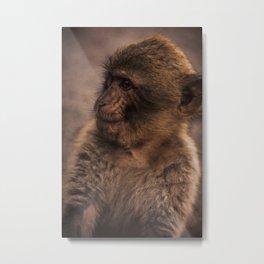Barbary macaque Metal Print