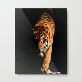 Prowling tiger walking from the dark Metal Print
