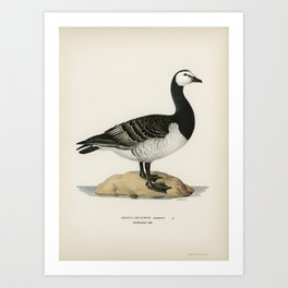 Barnacle Goose (BRANTA LEUCOPSIS) illustrated by the von Wright brothers. Art Print