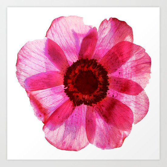 Fragile and beautiful - red anemone in white background Art Print