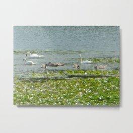 Swans Around Lily Pads Metal Print