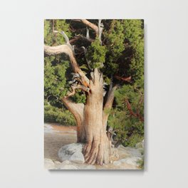 Sturdy Old High Country Tree Metal Print