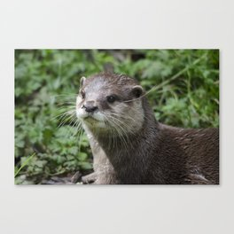 Asian short clawed otter Canvas Print
