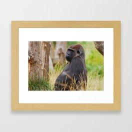silverback male gorilla Framed Art Print