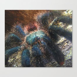 Greenbottle Blue Tarantula Canvas Print