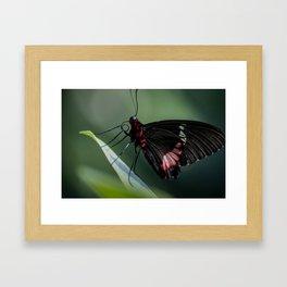 butterfly eatting Framed Art Print