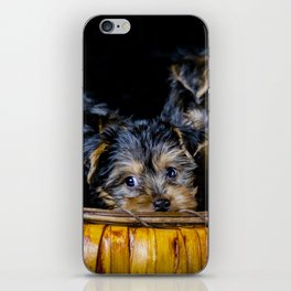 Halloween Pumpkin Basket Filled with Five Yorkshire Terrier Puppies iPhone Skin