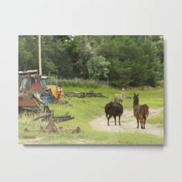 Llamas in a Salvage Yard Metal Print