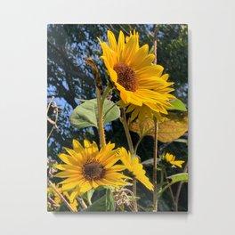 Sunflowers Facing the Sun Digital Photography Metal Print
