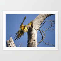 Birds from Pantanal Arara Canindé Art Print