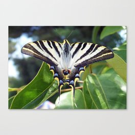 Swallowtail Buttterfly Resting on Oleander Leaves Canvas Print