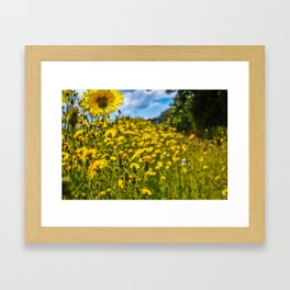 Mylor Walk - Yellow Hawkweed Flowers  Framed Art Print