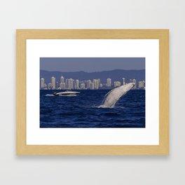 Humpback Whale Calf Breaching Off Surfers Paradise Framed Art Print