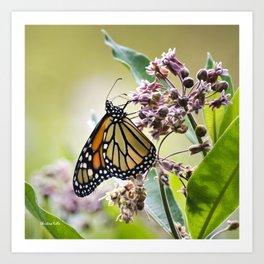 Monarch Butterfly on Flower Art Print