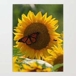 The butterfly the bee and the sunflower Poster