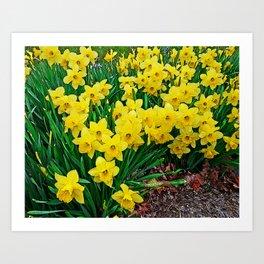 Daffodiles Art Print