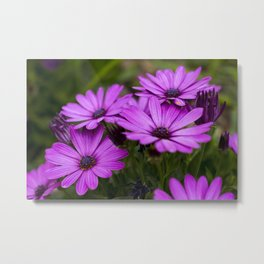 Purples African Daisy Flowers - Original Botanical Nature Photography - Flora Art  Metal Print