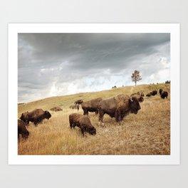 Buffalo Picture Art Print
