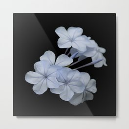 Pale Blue Plumbago Isolated on Black Background Metal Print